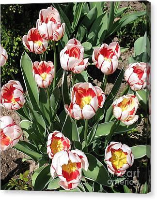 Canvas Print featuring the photograph Swanhurst Tulips by Jolanta Anna Karolska