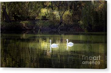 Swans By Morning Light Canvas Print by Leslie Wells