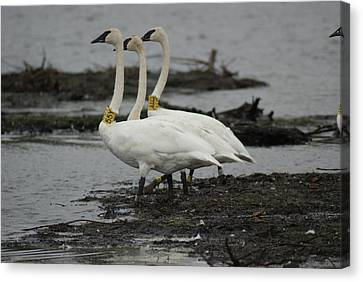 Swans Line Dancing Canvas Print by Ron Read