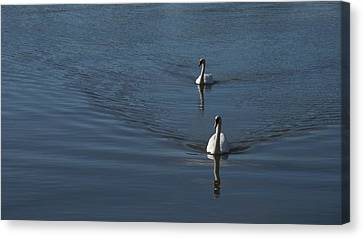 Swans On Blue Canvas Print