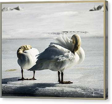 Swans On Ice Canvas Print