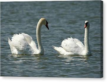 Swans On Lake  Canvas Print