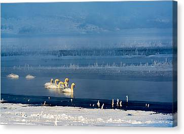 Swans On The Lake Canvas Print by TL Mair