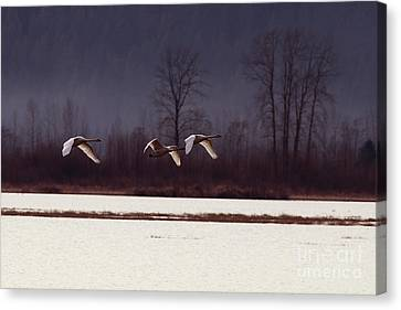 Flying Swan Canvas Print - Swans Over The Marsh by Sharon Talson