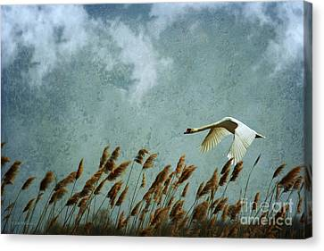 Swans Rule The Marshlands Canvas Print by Beve Brown-Clark Photography