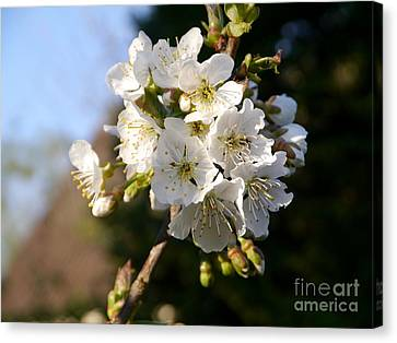Sweet Cherry Blossoms Canvas Print by Christiane Schulze Art And Photography