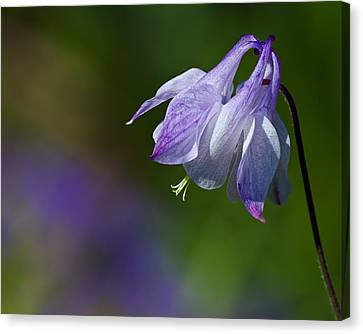 Sweet Columbine Canvas Print by Margaret Barry