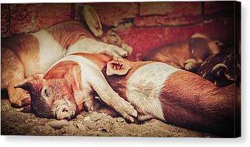 Sweet Dream Piglets Canvas Print by Debi Bishop