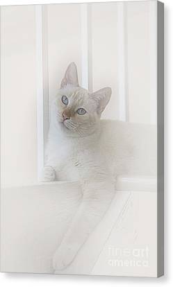 Flame Point Siamese Canvas Print - Sweet Flame Point Siamese by Elisabeth Lucas