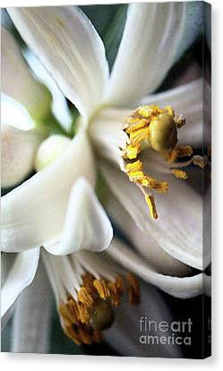 Sweet Fragrance 2 Canvas Print by Victor K