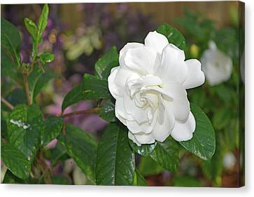 Sweet Gardenia Canvas Print