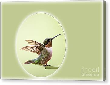 Sweet Little Hummingbird Canvas Print by Bonnie Barry