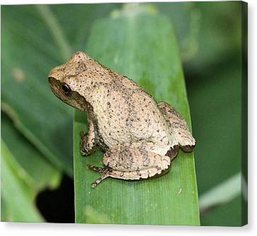 Sweet Little Peeper Canvas Print by Doris Potter