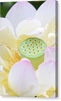 Aquatic Plant Canvas Print - Sweet Lotus by Tim Gainey