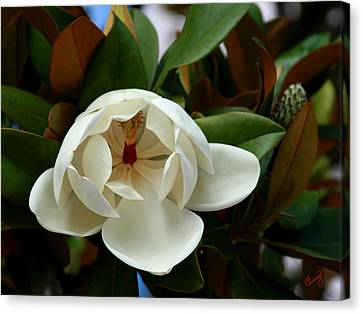 Sweet Magnolia Canvas Print