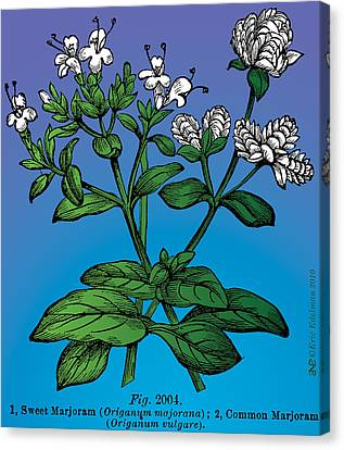 Sweet Marjoram Canvas Print by Eric Edelman