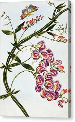 Sweet Pea Canvas Print by Pierre-Joseph Buchoz