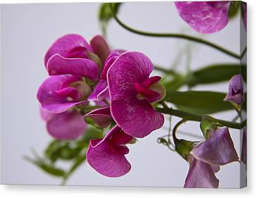 Sweet Pea Canvas Print by Theresa Johnson