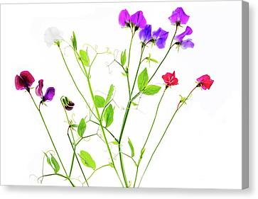 Canvas Print featuring the photograph Sweet Peas by Rebecca Cozart