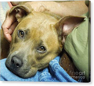 Sweet Pit Bull . Face Of Love Canvas Print