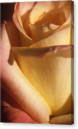 Sweet Rose Canvas Print by Gary Brandes