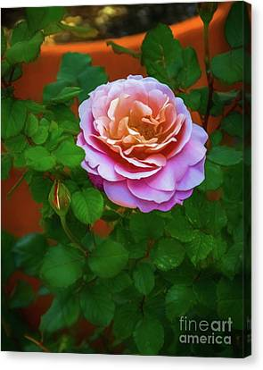 Sweet Rose Canvas Print by Jon Burch Photography