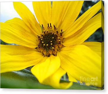Sweet Sunflower Canvas Print by Sonya Chalmers