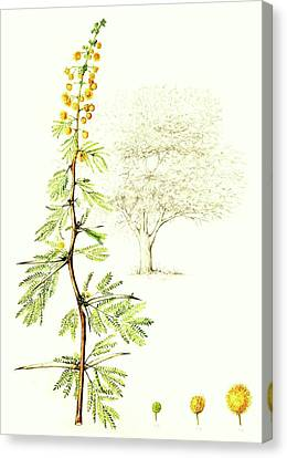 Canvas Print featuring the painting Sweet Thorn Botanical Illustration by Heidi Kriel