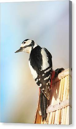 Sweet Woodpecker Canvas Print