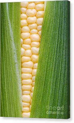 Sweetcorn Canvas Print
