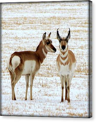 Sweetwater Pronghorn Canvas Print by Leah Grunzke