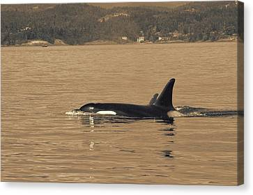 Swimming Orca And Calf  Canvas Print by Dan Sproul