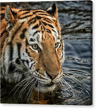 Canvas Print featuring the photograph Swimming Tiger by Chris Boulton