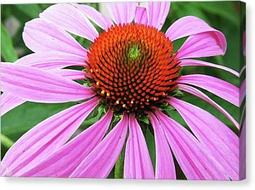 Swirling Purple Cone Flower 3576 H_2 Canvas Print