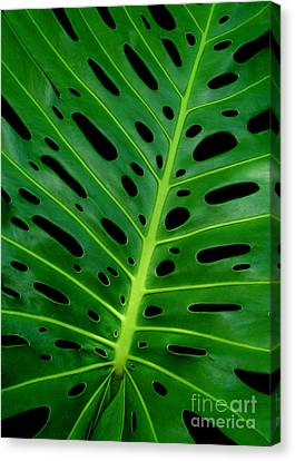 Philodendron Canvas Print - Swiss Cheese Plant by James Temple
