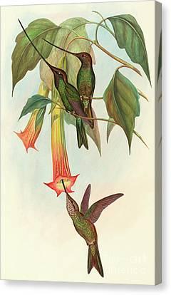 Sword Billed Hummingbird Canvas Print by John Gould