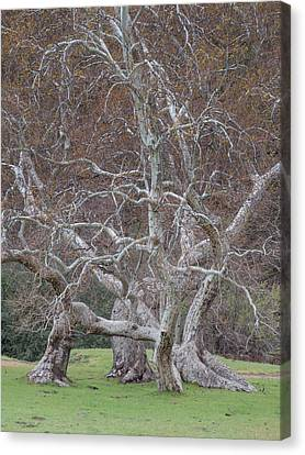 Canvas Print featuring the photograph Sycamore Dance by Alexander Kunz