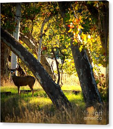 Sycamore Grove Series 1 Canvas Print by Carol Groenen
