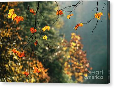 Sycamore Leaves In Autumn Canvas Print by Thomas R Fletcher