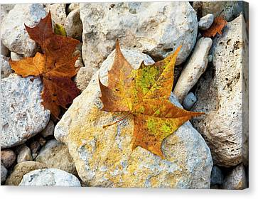 Sycamore Leaves On Creek Bed Stones. Canvas Print by Mark Weaver