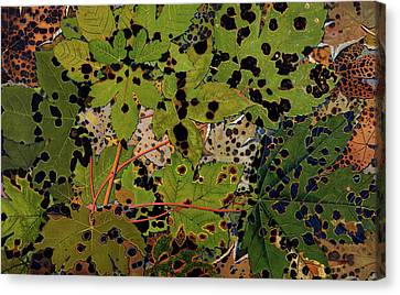 Sycamore Leaves Canvas Print by Philippe Robert
