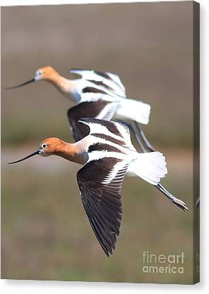 Synchronized Flight Of The American Avocets Canvas Print by Wingsdomain Art and Photography