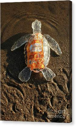 Canvas Print - Taco Sauce Baby Sea Turtle From The Feral Plastic Series By Adam by Adam Long