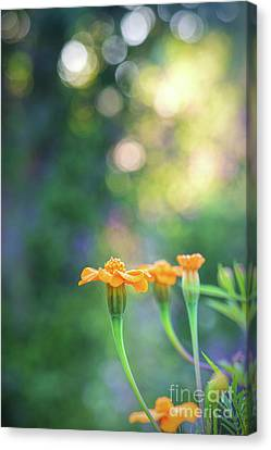 Tagetes Dawn Canvas Print by Tim Gainey
