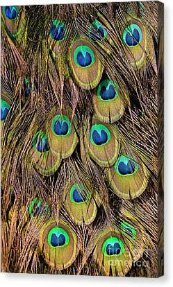 Tail Feathers Of Peacock Canvas Print by George Atsametakis