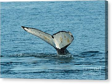 Tail Of The Whale Canvas Print