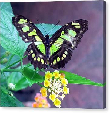 Tailed Jay Visits Lantana Canvas Print by Betty Buller Whitehead
