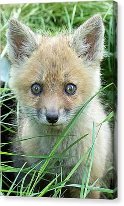 Fox Kit Canvas Print - Take Me Home by Everet Regal