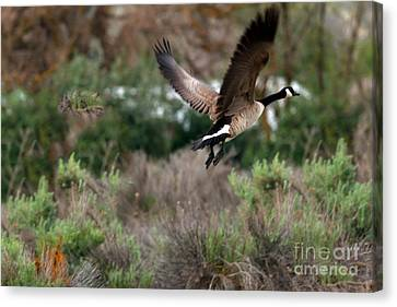 Canadian Marsh Canvas Print - Take Off by Robert Bales