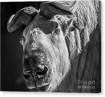 Takin  Canvas Print by Jamie Pham